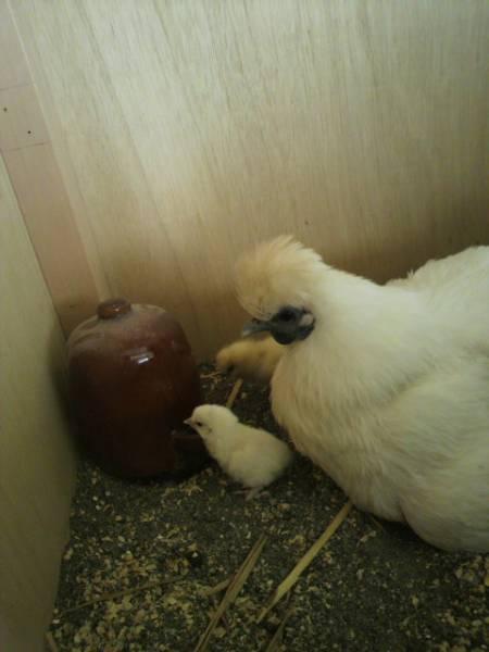 孵化用 白烏骨鶏の有精卵 54個入り