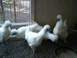 鶏のテリトリーに関して (喧嘩・同居・人への慣れ)