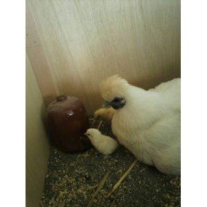 画像: 孵化用 白烏骨鶏の有精卵 6個入り